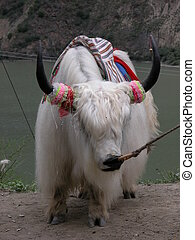 gekleede op, koe