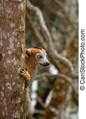 gekroonde lemur