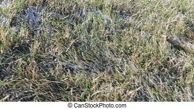 gelée, herbe
