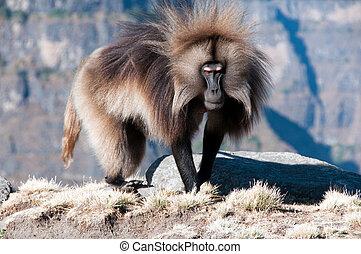 Gelada Baboon in Simien mountains national park, Ethiopia