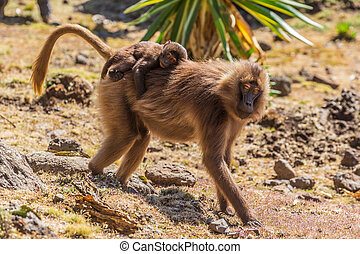 Gelada Baboon with baby in the Simian Mountains