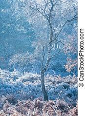 gelado, árvore birch prata