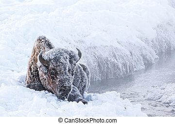 gelado, bisonte
