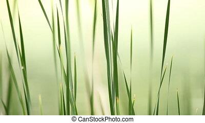 gelassen, grass.