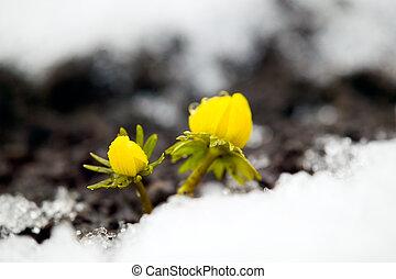 gelbe blume, ungefähr, gartenerde, schnee