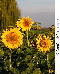 gelbe, einem, sonnenblumen, feld