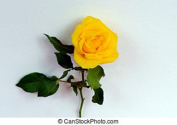 gelbe rosen, vor, a, weiße wand