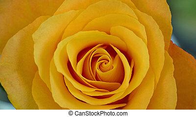 gelbe Rosenblüte - Gelbe Rosenblüte