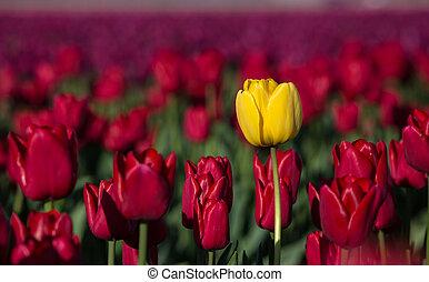 gelbe tulpe, in, a, rotes , feld