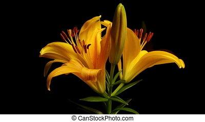 gelber , asiatische lilie, welkend, timelap