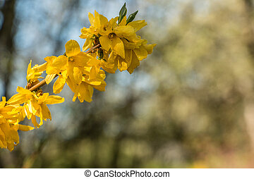 gelber , blüten, auf, a, baum, auf, der, grünes feld