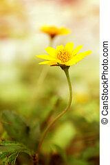 gelber , frisch, gänseblumen, feld, blühen, frühjahrsblumen, aus, warm, sunset.