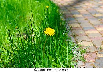 gelber , lã¶wenzahn, auf, a, hintergrund, von, grün, grass.