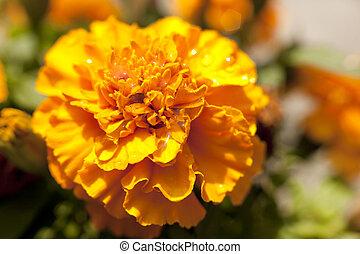 gelber , orange blume, ringelblume