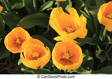 gelber , tulpen, in, a, feld