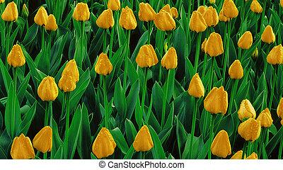 gelber , tulpen, wachsen, auf, a, feld