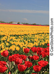 gelber , und, rotes , tulpen, auf, a, feld
