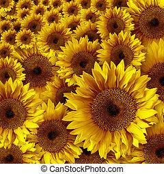 gelber , weinlese, rustic, schauen, grunge, sonnenblumen
