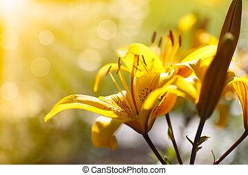 gele, bloeien, lelies, op, een, zonnige dag