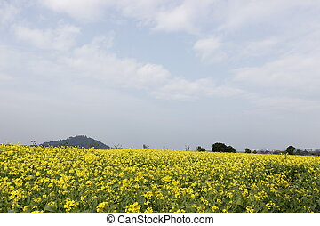 gele bloem, akker, bloem, in, lente, op, blauwe hemel, achtergrond