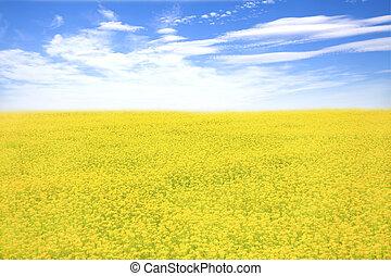 gele bloem, akker, en blauw, hemel, in, lente