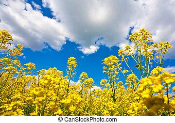 gele bloem, akker, en blauw, hemel