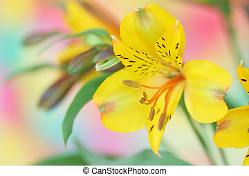 gele bloem, alstroemeria