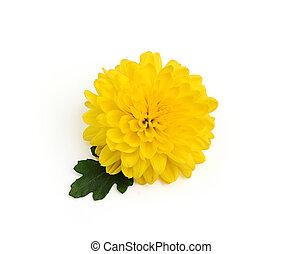 gele, chrysant, bloem, met, blad