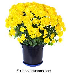 gele, chrysant, in, bloempot