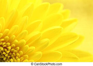gele, chrysant, kroonbladen, macro, grit