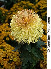 gele, chrysant