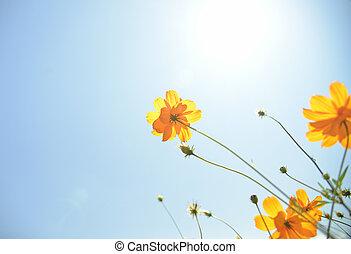 gele, cosmos bloem, met, sunshine4