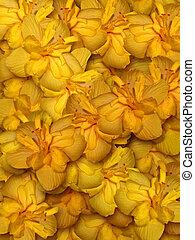 gele, hibiscus, bloem, achtergrond