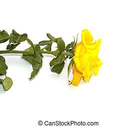 gele, mooi, roos, op, een, witte achtergrond