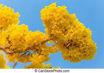 gele, pridiyathorn, gele bloem, in, natuur, blauwe hemel, achtergrond