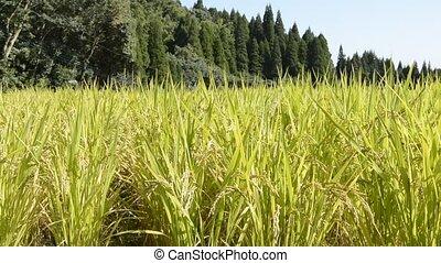 gele, rijst veld