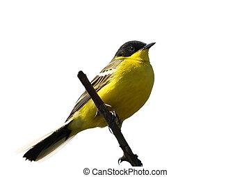 gele, witte , vrijstaand, wagtail