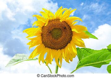 gele, zonnebloem, in, de, akker, tegen, blauwe hemel, achtergrond