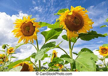 gele, zonnebloemen, in, de, akker, tegen, blauwe hemel, achtergrond