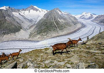 geleira, montanha, aletchs, cabra, fundo