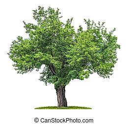 gelso, bianco, albero, isolato, fondo