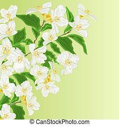 gelsomino, ramo, fiore