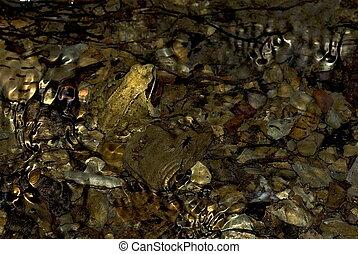 gemeinsam, brauner, frosch, (rana, temporaria)