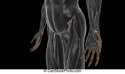 Gemellus inferior Muscle Anatomy For Medical Concept 3D Illustration