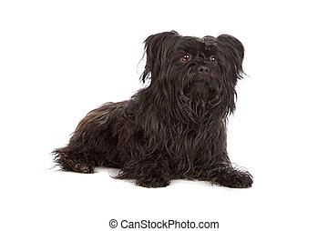 gemengd, maltees, ras, black , puppy