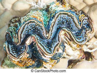 gemensam, jätte- mussla, på, korallrev