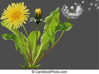 gemensam, maskros, växt