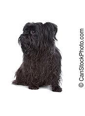 gemischter, maltesisch, rasse, schwarz, junger hund