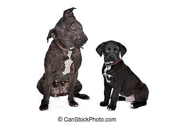 gemischter, rasse, zwei, hunden