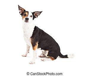 gemischter, terrier, sitzen, rasse, aufmerksam, chihuahua, hund